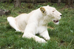 Fehér oroszlán érkezett a Nyíregyházi Állatparkba!