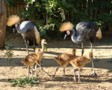 Szürkenyakú koronásdaru fiókák a Nyíregyházi Álatparkban