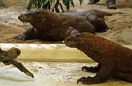 Komodói varánuszok a Sóstó Zoo -ban