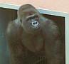 Megérkeztek a gorillák a Sóstó Zoo -ba