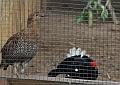 Szenzáció: Nyírfajdok a Sóstó Zoo-ban!