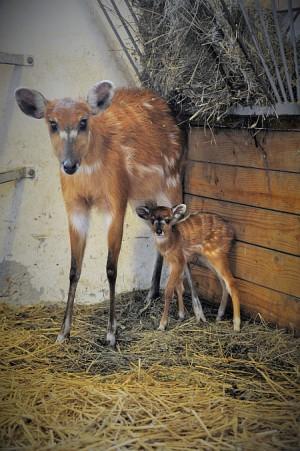 Ritka szitatunga antilop született a Nyíregyházi Állatparkban!