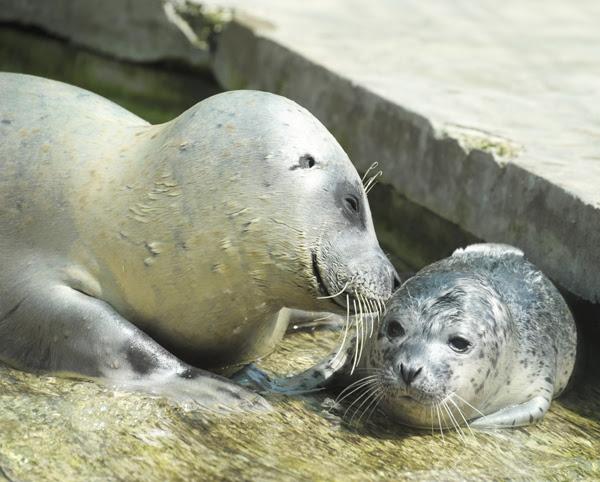 Újabb állatkerti szenzáció Nyíregyházán - fóka bébi született a vendégek szeme láttára