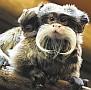 Császárbajszú tamarin ikrek(Saguinus imperator) születtek a Nyíregyházi Állatparkban. A bajszos majmocskák minden tagja részt vesz a kölykök nevelésében.
