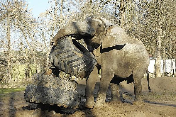 600 kilogrammos játékot kapott Jack, a Sóstó Zoo közel 6 tonnás afrikai elefántbikája