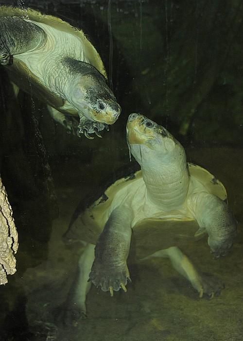 Láthatóak a világ egyik legnagyobbra növő édesvízi teknősei a Nyíregyházi Állatparkban