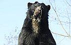 Andok kalandok Nyíregyházán--a pápaszemes medvék már betelepültek
