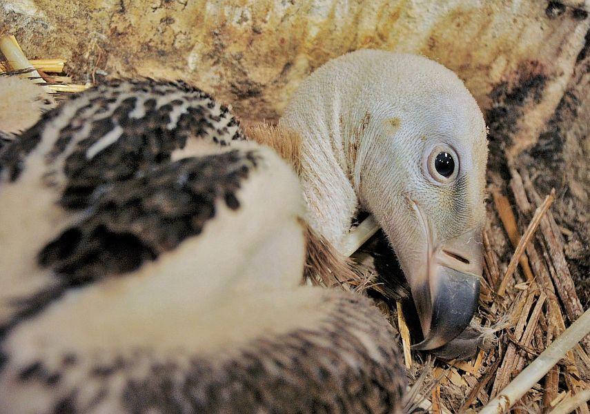 Kritikusan veszélyeztetett karvalykeselyű (Gyps ruepellii) neveli fiókáját az Állatparkban