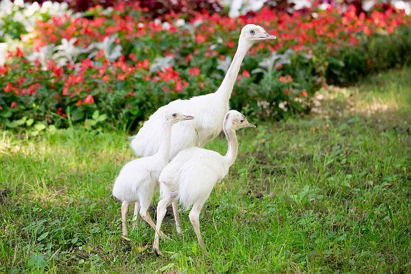 Fehér nandu fiókák keltek ki a Nyíregyházi Állatparkban