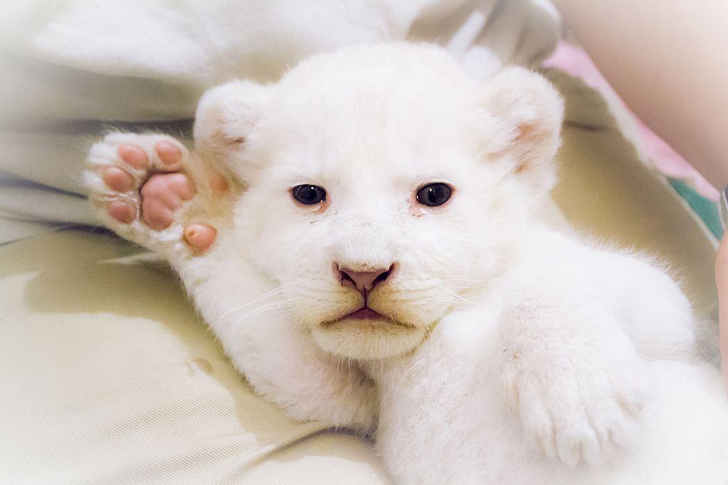 Bemutatkozott a Sóstó Zoo fehér oroszlán bébije