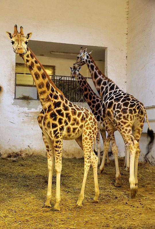 2 éves lett Kamilla a Sóstó Zoo zsiráfja
