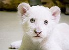 Megvan a nyíregyházi kis fehér oroszlán neve!