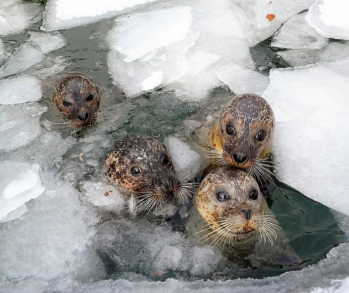 Az Atlanti- és a Csendes-óceán északi vizeiben őshonos állatok testét a vizek alacsony hőmérsékletétől, vastag bőr alatti zsírréteg védi meg, s   bár ez mechanikai védelmet és tápanyagraktárt is jelent az állat számára,  a hőszigetelő szerepe a legfontosabb.  Az állatok téli felkészítése már kora ősszel  megkezdődik, hiszen míg a nyári időszakban kevesebb az úszólábúak  takarmány igénye- mindössze 2kg a napi tengeri hal fejadag-kora ősztől folyamatosan emelik a takarmány mennyiségét a trénerek, így a kemény mínuszokat már jó vastag szalonnaréteggel várják az állatok. Ilyenkor már 6-8kg zsíros tengeri halat is fogyasztanak a fókák.  Az állatok márványos, szürkefoltos szőre kitűnő álcázást biztosít számukra s mivel életül ¾ részét a vízben töltik, testük is ehhez idomult; áramvonalas, torpedó alakjuk van, még fülkagylójuk sincs. Orrnyílásaik zárhatóak, fogaik a síkos zsákmány megfogására alkalmasak. Sokféle hallal táplálkoznak, s a természetben akár 300 méter mélységbe is képesek lemerülni. Akár több napot is úszással töltenek, s  50 km távolságot is megtesznek táplálkozó helyet keresve.  A szárazföldön esetlenül mozognak, mert a talajon a mellső uszonyaik nem segítik a helyváltoztatásban őket, s hátsó végtagjaikat sem tudják maguk alá hajlítani ( ellentétben az oroszlánfókákkal).  A Nyíregyházi Állatparkban élő borjúfóka (Phoca vitulina)  csapat jelenleg 4 főből áll, 1 ivarérett hímből, s 3 nőstényből, s már több ízben volt szaporulat. A nőstény 11 hónapnyi vemhesség után, mindig  a szárazföldön hozza világra kicsinyét, aki pár órával a születése után már igazi kis búvár.