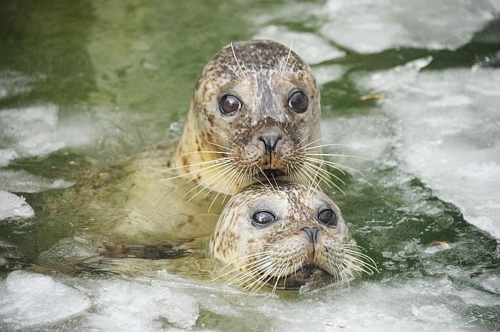 Az Atlanti- és a Csendes-óceán északi vizeiben őshonos állatok testét a vizek alacsony hőmérsékletétől, vastag bőr alatti zsírréteg védi meg, s bár ez mechanikai védelmet és tápanyagraktárt is jelent az állat számára, a hőszigetelő szerepe a legfontosabb.