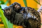 Aranykezű tamarin született a Nyíregyházi Állatparkban