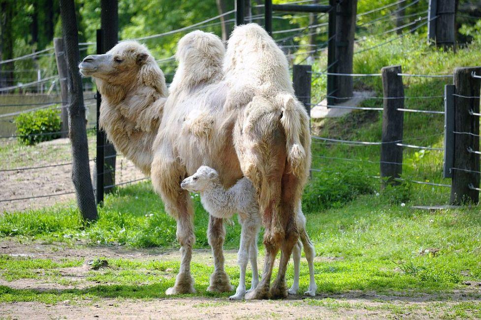 2 hét 2 fehér tevecsikó - újabb fehér teve született a Nyíregyházi Állatparkban