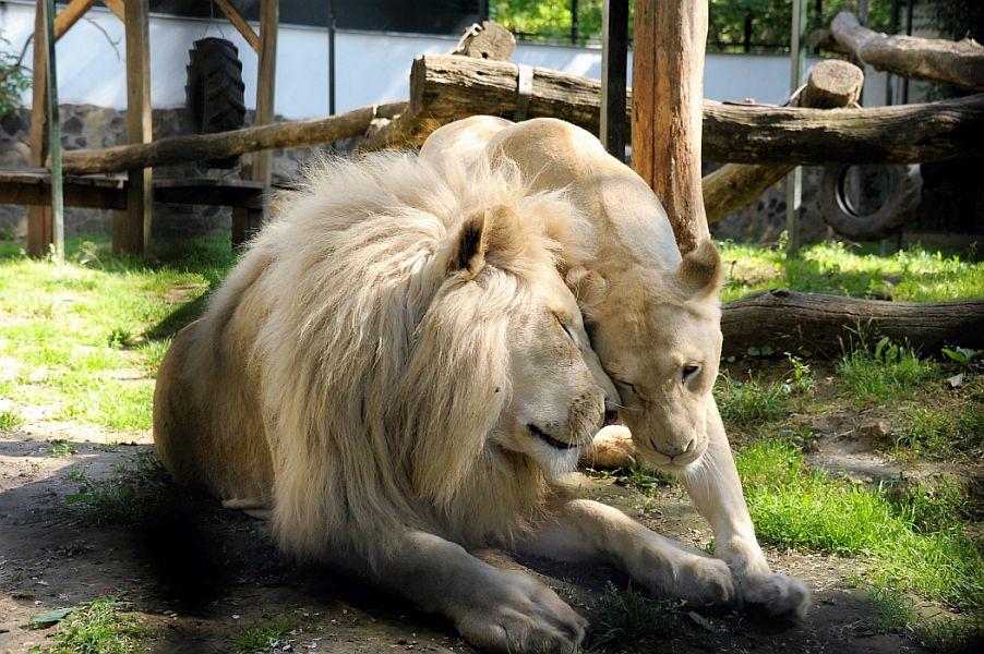 Nevet kaptak a Nyíregyházi Állatpark fehér oroszlán hármasiker kölykei