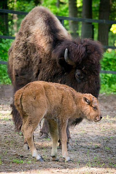 Amerikai bölény született a Nyíregyházi Állatparkban