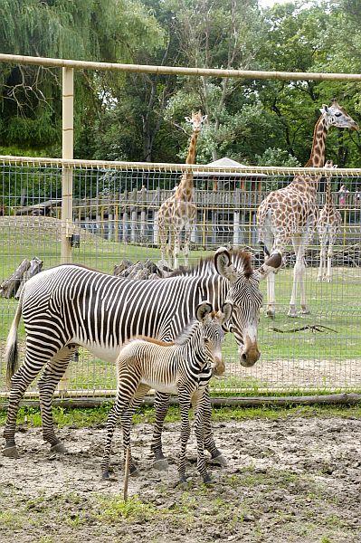 Ritka zebra csikó született Nyíregyházán