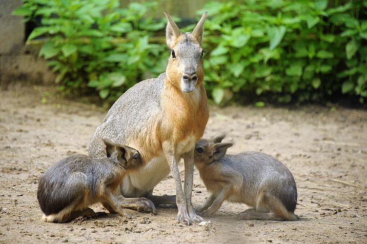 A 3 hónap vemhességi idő után világra jött kölykök már 24 órával a születésük után képesek önállóan járkálni, ekkor még leginkább a rejtett kotorékban tartózkodtak de a különböző életkorú utódok már napsütéses időben előszeretettel tartózkodnak a föld felszínen felett is az Andok kalandok kifutórendszerben. Bár hamar elkezdték enni a fűféléket, a rágcsálóknál szokatlan módon, akár 13 hetes korukig szopni is fognak majd.  A kölykök felnevelése idején az addig csak kettesben élő párok, a többi párral  átmeneti kolóniát alkotnak, s bár egymás kicsinyeit nem szoptatják,  közösen vigyáznak az 5 utódra.      A rágcsálókra nem jellemző módon a nagy mara, monogám kapcsolatban él, egy életre választ párt, a kölyköket pedig együtt nevelik fel.  A tartós párkapcsolatnak több oka is van: A nőstény évente két alkalommal, akkor is csupán néhány órán át fogamzóképes, így a hímnek állandóan választottja közelében kell maradni, nehogy elszalassza az alkalmas időpontot.  Ráadásul a nősténynek rengeteg energiára van szüksége a kölykök kihordására és táplálásra, így leszegett fejjel kell szinte egész nap legelészik, ám így nehezebben veszi észre a ragadozókat. A hím ezért a nap jó részét őrködéssel tölti, hogy párját és utódait figyelmeztesse a közelgő veszélyre, valamint a rivális hímeket távol tartsa családjától.