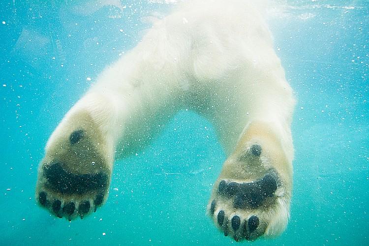 Jegesmedve nőstény érkezett a Nyíregyházi Állatparkba, a Moszkvai Állatkert ajándékaként