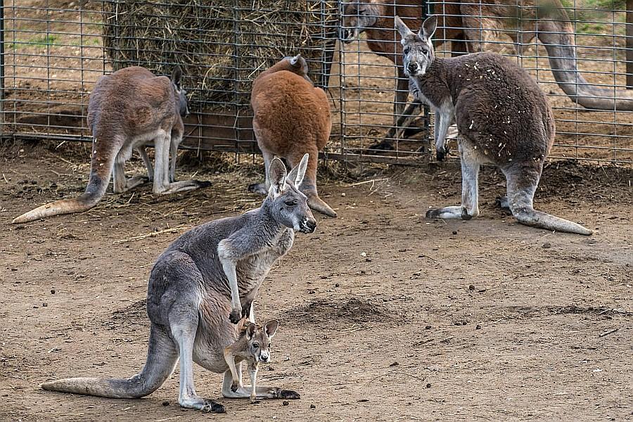 Már látható, a világ legnagyobb erszényeseinek, a vörös óriáskenguru csapatnak a legifjabb tagja, a Nyíregyházi Állatparkban
