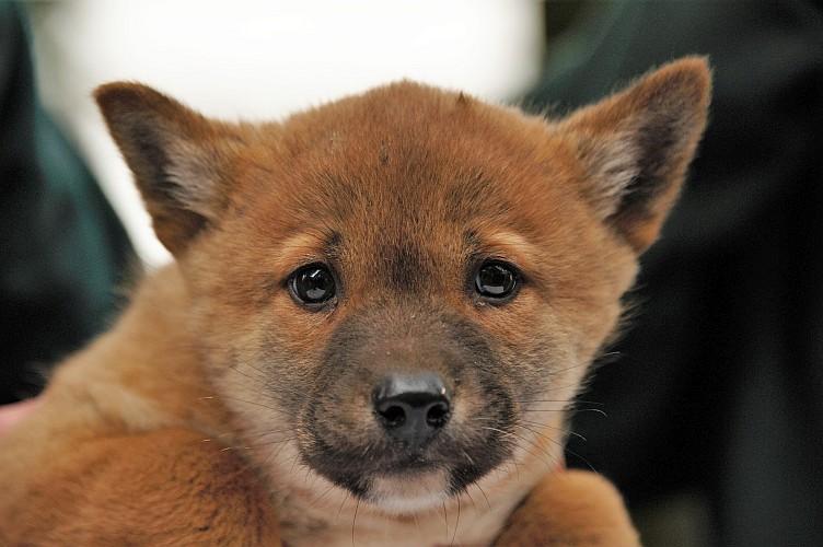 Dingó kölyök született a Nyíregyházi Állatparkban