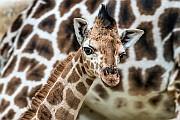 Zsiráfborjú látott napvilágot a Nyíregyházi Állatparkban